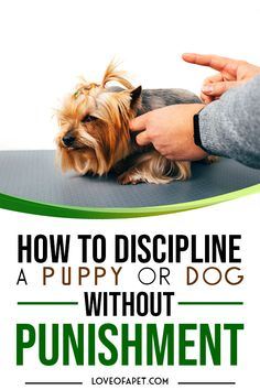 How to Discipline a Puppy or Dog Without Punishment. A well-trained dog or puppy is a dream for a lot of dog parents. Here are 8 common ways to discipline your puppy or dog without giving it any punishment. Puppy Training Tips, Training Your Dog, Teach Dog Tricks, Dog Accesories, Dog Body Language, Dog Minding, Dog Varieties, Yorkie Puppy, Dog Activities