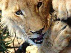 Lion, Etelä Afrikka, Eläinten, Eläinten Maailman