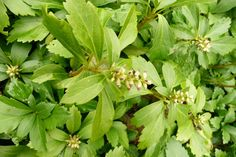 Pachysandra terminalis - Buxaceae - mat forming evergreen - coarsely toothed leaves - alternate - coriaceous -  terminal spike inflorescence of white flowers spring/early summer - underplanting - ground cover