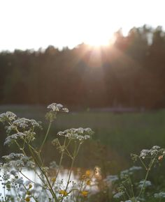 Meadow flowers // Cow parsley // Nitty // Sunset // Archipelago // Summer night   Photo: Pala saaristoa Cow Parsley, Nordic Home, Archipelago, Island Life, Coastal Living, Summer Nights, Scandinavian Design, Sunsets, Instagram Posts