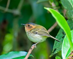 Ochre-faced Tody-Flycatcher (Poecilotriccus plumbeiceps)