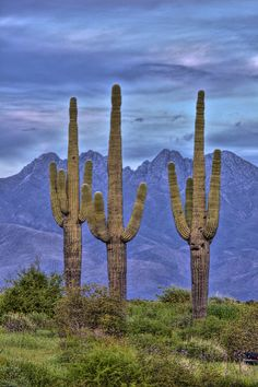Four Peaks Three Saguaros - Paul Gill/ East of Fountain Hills AZ. Fountain Hills, Desert Life, Arizona Travel, Arizona Usa, Desert Plants, Desert Cactus, Cactus Y Suculentas, Cactus Flower, Cacti And Succulents