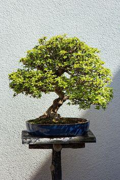 Bonsai im Japanischer Garten Bad Langensalza by Holger Schwarz on ...
