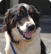 Bernese Mountain Dog Border Collie Mix - Bing images
