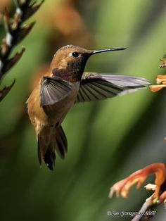 Rufous Hummingbird -- Ardenwood Historic Farm, Fremont, CA