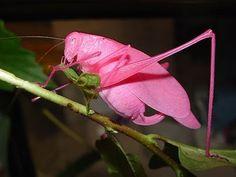 Gafanhoto rosa