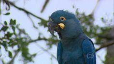 Cazuza: Araras azuis ameaçadas de extinção renascem nas ma...