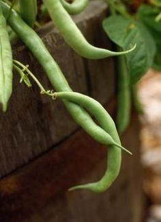 Enjoy fresh green beans from your container garden.