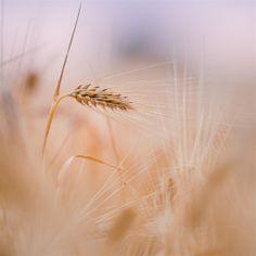 Wheat Spike Summer Retina IPad Wallpaper