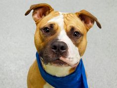 TO BE DESTROYED FRI, 2/21/14- Manhattan Center    SIMBA - A0991549   NEUTERED MALE, TAN / WHITE, PIT BULL MIX, 1 yr  OWNER SUR - EVALUATE, NO HOLD Reason PERS PROB   Intake condition NONE Intake Date 02/12/2014, From NY 10467, DueOut Date 02/12/2014 Main thread: https://www.facebook.com/photo.php?fbid=760779920601556&set=a.617938651552351.1073741868.152876678058553&type=3&permPage=1