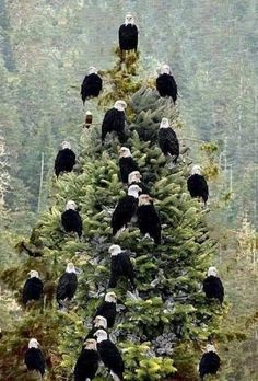 a conundrum. Just how many birds can you fit on a Christmas tree? (Beauty in Nature) Pretty Birds, Beautiful Birds, Animals Beautiful, Nature Animals, Animals And Pets, Cute Animals, All Nature, Amazing Nature, Eagle Pictures