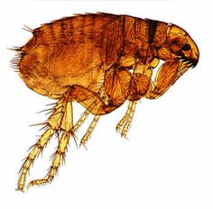 How to get rid of fleas pests pets pinterest insects dog fleas ccuart Gallery