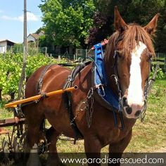 Horsepower! The old vine block #Merlot receives special treatment! Unan the Breton shire horse supplies special TLC for our old vines!