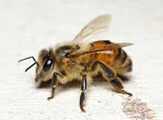 Honey Bee photo by: Apis mellifera | pinned by Western Sage and KB Honey (aka Kidd Bros)