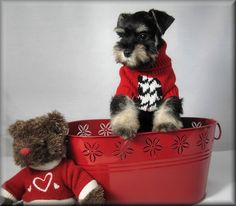 20091208_31 Schnauzer pup in red tub and red sweaters