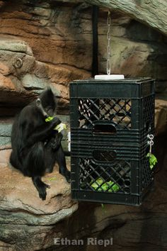 Crate Feeder for Francois Langur at Saint Louis Zoo. Zoo Architecture, Zoo Toys, St Louis Zoo, Zoo Project, Zoo Keeper, Pet Monkey, Animal Habitats, Cool Pets, Primates