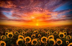 Photograph Sun Flowers Light by vero note on 500px