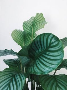 Renovations, New Builds and Interiors on the Northern Beaches of Sydney — Heliconia Garden Plants, Indoor Plants, Calathea Orbifolia, Plants Are Friends, Plant Needs, Types Of Plants, Plant Care, Houseplants, Planting Flowers