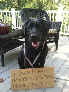 """I swam in the neighbors new pool before they did."" ~ Dog Shaming - I'm pretty sure one of my black labs would do this."