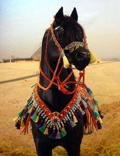 Black Arabian Horses