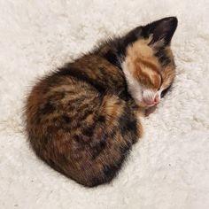 itty bitty kitty so schläfrig - - Katzen - Cats Cute Cats And Kittens, Baby Cats, Kittens Cutest, Kitty Cats, Ragdoll Kittens, White Kittens, Siamese Cats, Cute Funny Animals, Cute Baby Animals