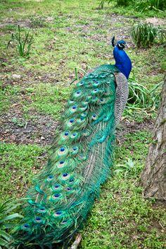 beautiful peacock scrapbook trends www.scrapstacks.com