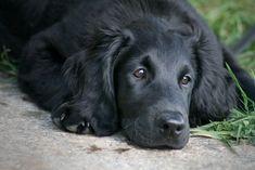 flat coat retriever pup