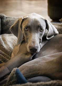 Weimaraner [photographic art] -- by Kevin Sherman, American