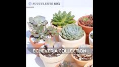 Types Of Succulents, Cacti And Succulents, Planting Succulents, Echeveria, Unusual Flowers, Garden Gifts, Growing Plants, Container Gardening, Garden Landscaping