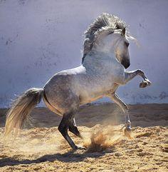 Lusitano stallion. photo: Ekaterina Druz.