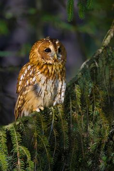 Another Gorgeous Tawny Owl by Milan Zygmunt