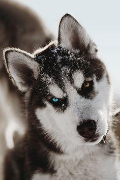 Siberian Husky Puppy, by Jesse James
