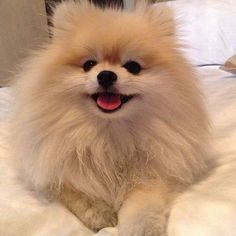Marvelous Pomeranian Does Your Dog Measure Up and Does It Matter Characteristics. All About Pomeranian Does Your Dog Measure Up and Does It Matter Characteristics. Cute Baby Dogs, I Love Dogs, Cute Puppies, Dogs And Puppies, Doggies, Corgi Puppies, Cute Little Animals, Little Dogs, Beautiful Dogs