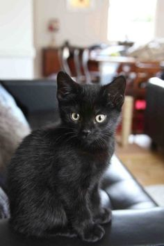 Black kitten at 8 weeks. Black cats are my favorite! I have a black cat Pretty Cats, Beautiful Cats, I Love Cats, Crazy Cats, Kittens Cutest, Cats And Kittens, Baby Animals, Cute Animals, Animals Images