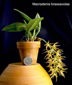 Macradenia brassavolae - Orchid Forum by The Orchid Source