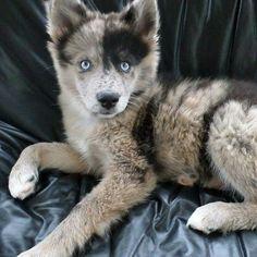 Husky Australian shepherd mix