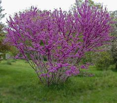 Don Egolf Cercis Plant