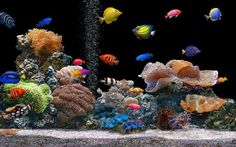 What Are the Kinds of Fish You Can Put in Your Fish Tank?  - There are many people who like to keep pets at their homes and they differ in what they keep as some people like keeping dogs, puppies, cats and birds... -   .
