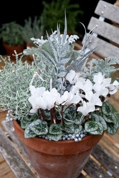Recipe: White theme Christmas pot which lights up at night. Uses cyclamen, cineraria, calecephalus. Or use white pansies, lavender, astelia, helichrysum