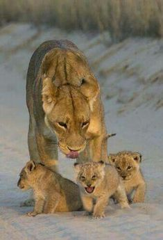 Lion and baby Animals Beautiful Cats, Animals Beautiful, Beautiful Family, Cute Baby Animals, Animals And Pets, Wild Animals, Big Cats, Cats And Kittens, Siamese Cats