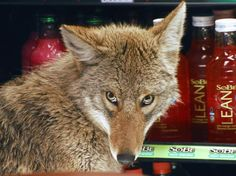 Coyote in a cooler at a Quizno's in Chicago.