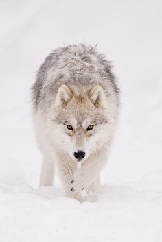 Arctic Wolf  (by Maxime Riendeau)