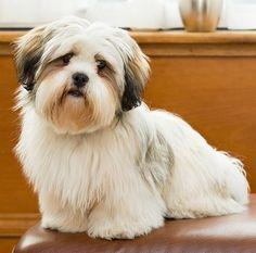 68. Lhasa Apso | Pertenece al grupo de Perros de compañía. Altura promedio: 22.9 a 27.9 cm al hombro. Peso promedio: 5.5 a 7 kg.