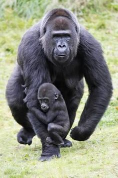 Photographic Print: Gorilla Female Carrying Baby Animal : 24x16in