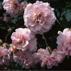 Felicia, Large sprays of beautiful, fully double blooms in a delightful mixture of rich pink with warm apricot shadings, emanating a rich perfume. Borne in clusters on a shapely, strong-growing, bushy plant with glossy, deep green foliage. An excellent addition to the hybrid musk class.