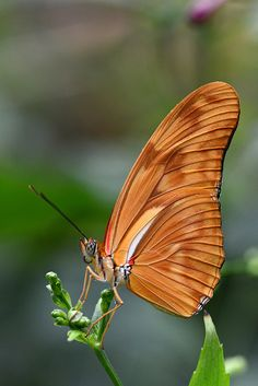 Golden Julia Dryas Butterfly