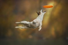 Dogs can fly :) - A Jack Russel is trying to fly during a disc dog training…