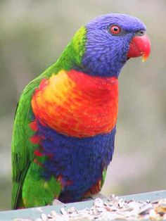 Lories and lorikeets are small to medium-sized arboreal parrots characterized by their specialized brush-tipped tongues for feeding on nectar and soft fruits. The species form a monophyletic group within the parrot family Psittacidae. Traditionally, they were considered