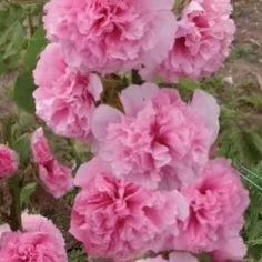 Topoľovka ružová Sawyers - Alcea rosea - semená topoľovky - 0,1 gr Ale, Flowers, Plants, Ale Beer, Flora, Plant, Royal Icing Flowers, Ales, Flower