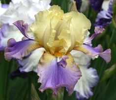 TB Iris germanica 'Oasis Dragon' (Chadwick, 2001)